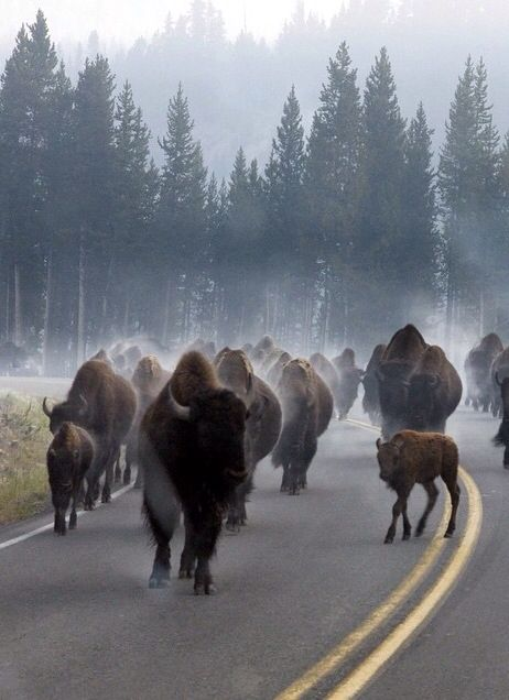 Heavy morning traffic at Yellowstone National Park in Wyoming.