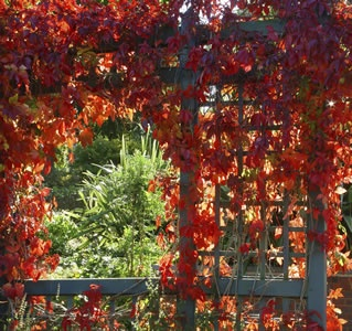Parthenocissus quinquefolia    A stunning deciduous creeper (self clinging creeper).  Green summer foliage, serrated leaves turn vivid red, gold and burgundy in autumn.  Makes an ideal decorative wall covering.  Very hardy in full sun or part shade position.     Grows 15m high x 5m wide.
