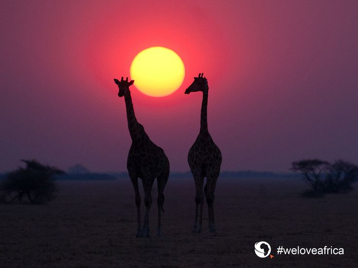 Sunsets and giraffes in #Africa. #weloveafrica Click here for downloadable #inspirational #migration #wallpapers: HD desktop: https://imglib_g2a.s3.amazonaws.com/img/20150223_040816_1_1.jpg iPad tablet: https://imglib_g2a.s3.amazonaws.com/img/20150223_040853_1_1.jpg