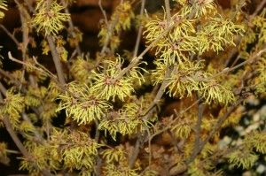Witch Hazel - Homemade Mosquito Repellent