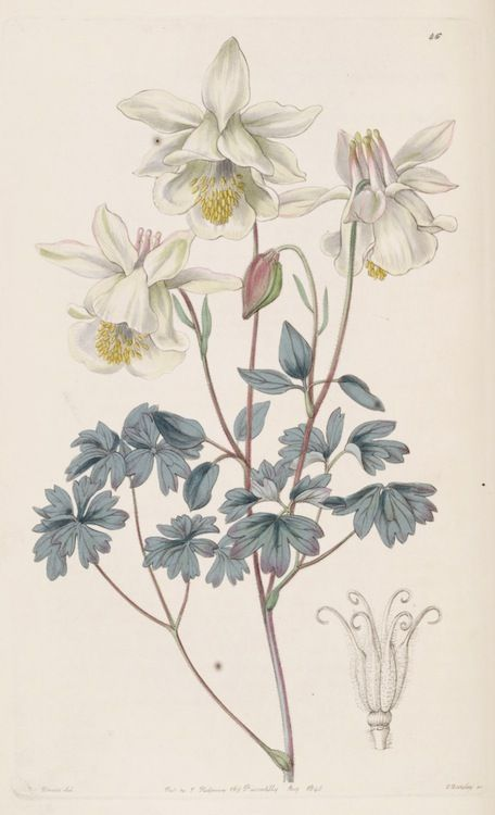 White Columbine flowers. Aquilegia fragrans. Published 1840.