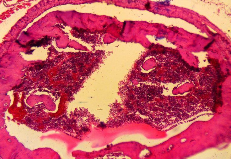 Mammal red bone marrow mitotic stages microscopy pinterest