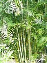 Tipos De Palmas | ... de palmera alcanza los 24 metros de altura y es propia de los climas