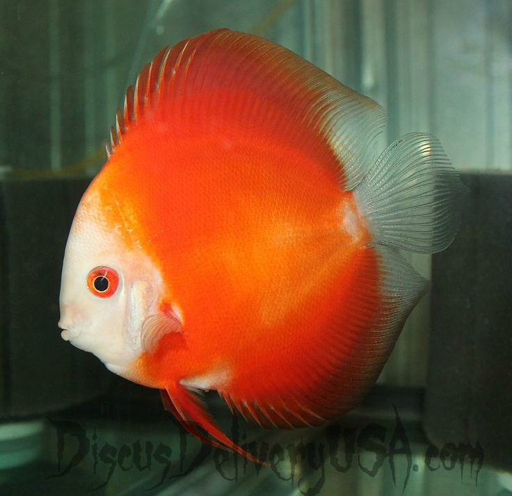 5in mandarin passion discus fish from discus delivery usa for Best place to buy discus fish