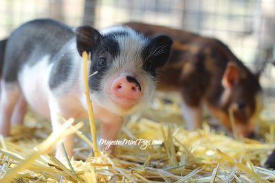 MajesticMiniPigs.com - Mini pigs for sale in california - Micro Miniature Pigs…