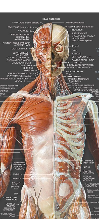 53 Best Muscles Images On Pinterest Anatomy Reference Human