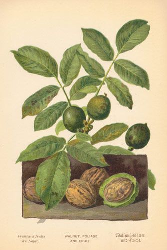 Walnuts with Leaves, Antique Print