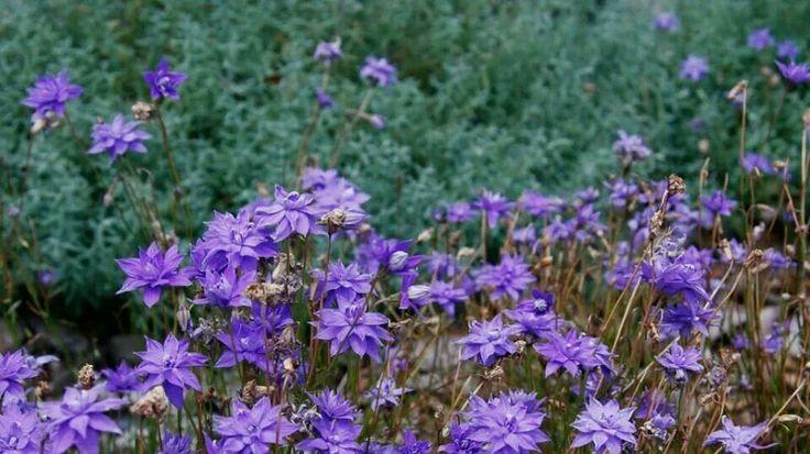 Wahlenbergia stricta - Australian bluebells put on stunning display via Australian Native planr enthusiasts fb page