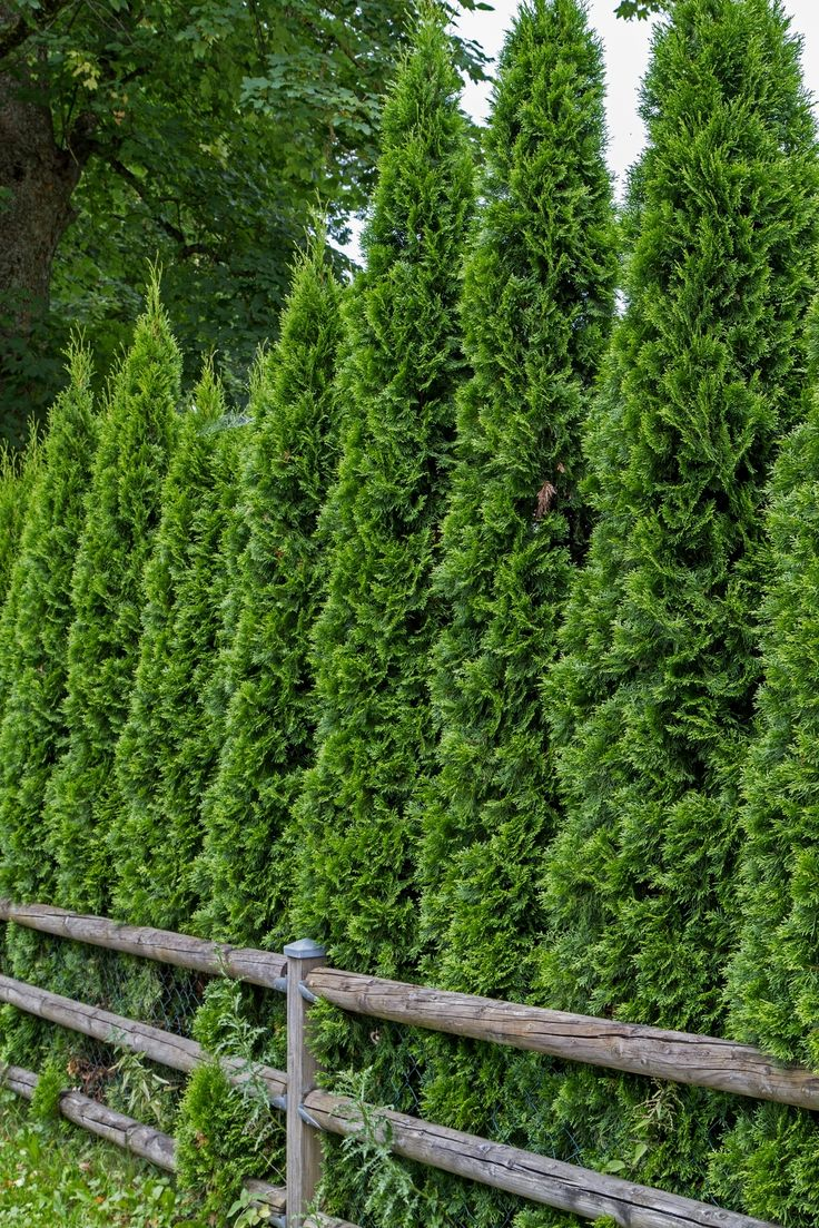 "Thuja occidentalis ""Malonyana"" (Arborvitae) USDA zones 4-8; 20-30' tall by 3' wide. One of the finest choices for a quick, dense evergreen hedge or privacy screen. Shiny, mint-green foliage on an extremely narrow habit provides a dramatic vertical element to any landscape Credit: Deposit Photos"