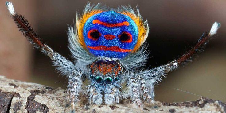 Conoce la especie de araña australiana que perfectamente podría ser pariente del pavo real