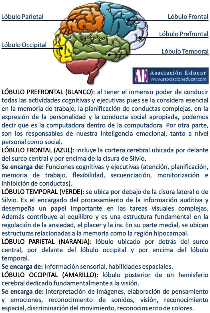 Infografía Neurociencias: Lóbulos cerebrales.   Asociación Educar