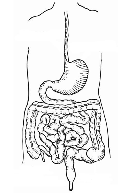 Coloring page digestive track - coloring picture digestive track. Free coloring sheets to print and download. Images for schools and education - teaching materials. Img 12912.