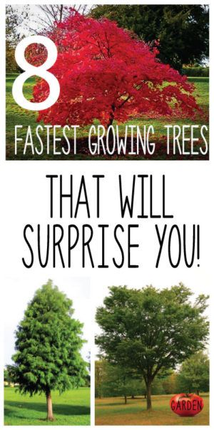 Need a tree that will grow and mature quickly?  Look no further.  Click the pin to learn all about the amazing...                                                                                                                                                                                 More