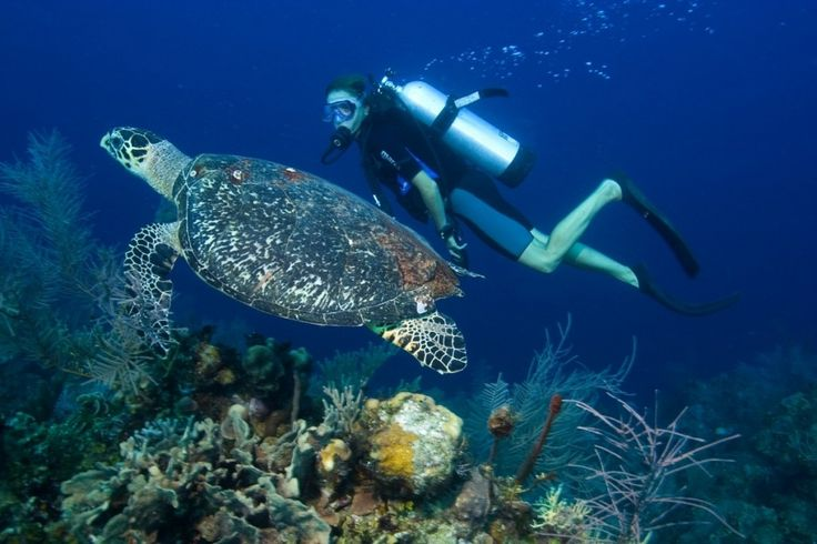 Belize Scuba Diving with Turtle