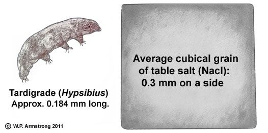 The size of a typical tardigrade, as measured next to an ... Water Bear Size Comparison