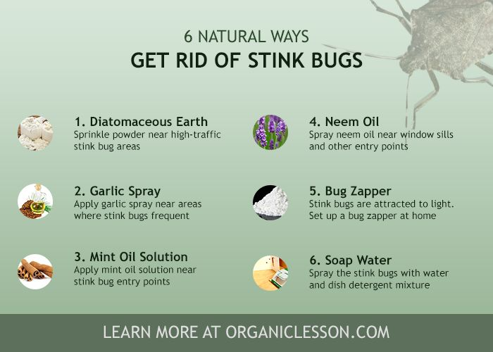 How to get rid of stink bugs instantly using home remedies - How to get rid of stink bugs in garden ...