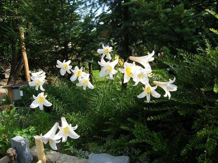Micsoda gondolatból alkothatta Isten a virágot? Hiszen ha csak bezöldíteni akarta a földet, csupa fűvel is bezöldíthette volna. De mennyi szép virágot vegyített a fű közé! A pirinkó nefelejcstől mind a rózsáig mennyi ezer és ezerféle alakú és színű virág nyílik mindenütt, ahol emberi láb nem tapossa el! A rózsa talán mégis a legszebb. De a liliom meg csupa rejtelem. Honnan veszi a liliom azt a csodás tisztaságú fehérségét? A földből? A föld fekete. És miért szeret elrejtőzötten élni? Ha…
