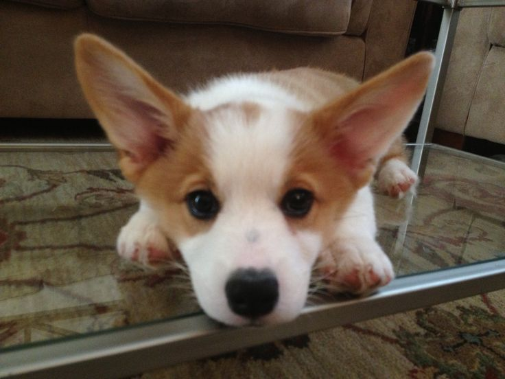 Baby Corgi Puppies And Critters Pinterest