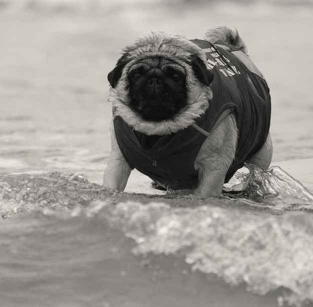 The First Pug Surf Championship of 1900.