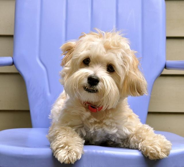 Havanese Puppies For Sale & Breeders in Cincinnati Ohio USA