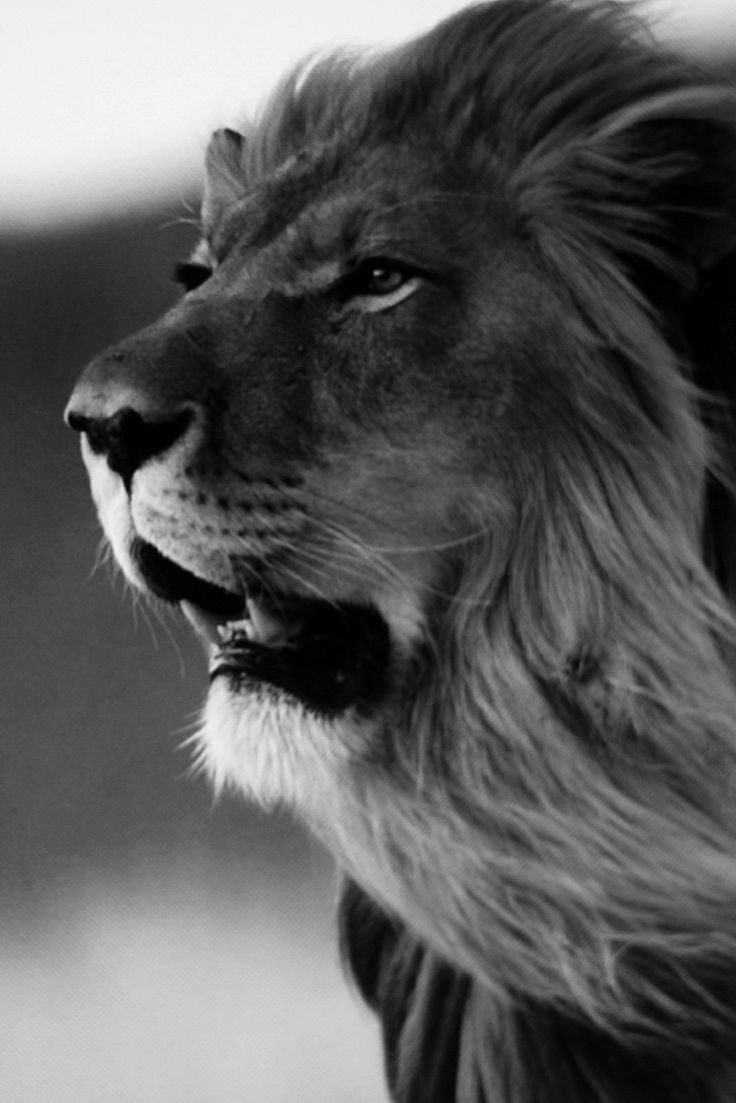 The Conquering Lion - ROar | Black and White | Pinterest ...
