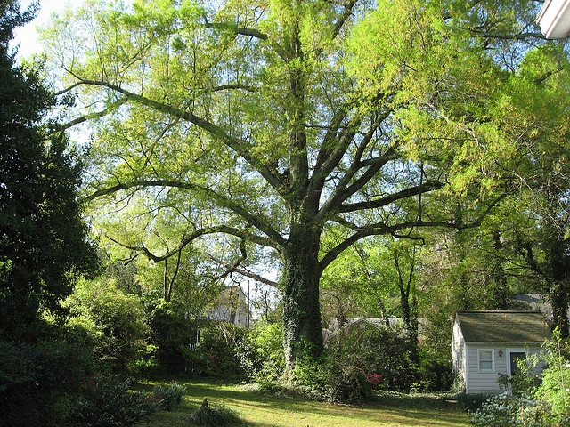 willow oak. hope someone cuts that ivy soon!