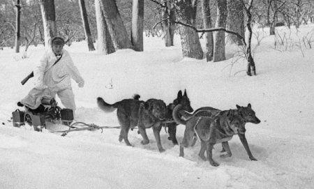 """Ездовые и санитарные собаки на войне » Интернет-приложение журнала """"БАЙАНАЙ"""""""