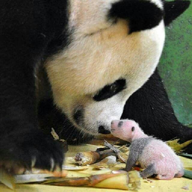 Moeder panda met jong