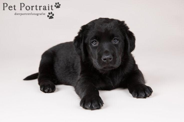 Hondenfotograaf Hillegom - Nestfotoshoot Labrador retriever pups geel en zwart-13