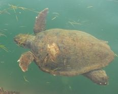 Barb the loggerhead sea turtle in Argostoli harbor   | check it out at http://wildlifesense.com