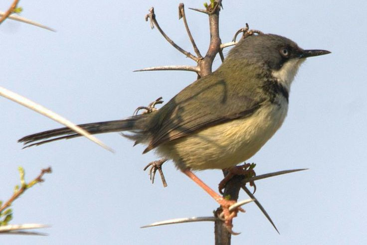 Bar Throated Apalis