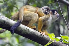 Squirrel Monkey, Corcovado National Park, Costa Rica