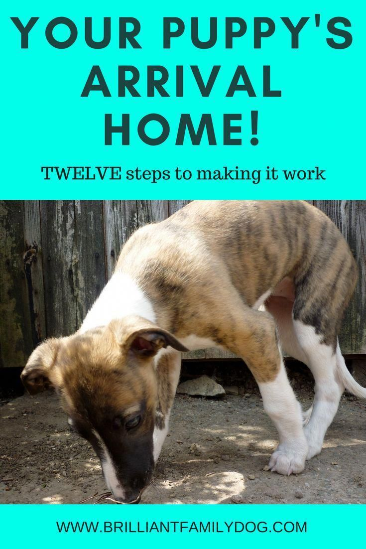 Puppy New Puppy Puppy Training Bringing Puppy Home 12 Ways To Make Your Puppy Homecoming Work Like A Dream Free Puppy Guides New Adestramento Bernese