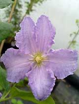 Clematis 'Blue Angel'