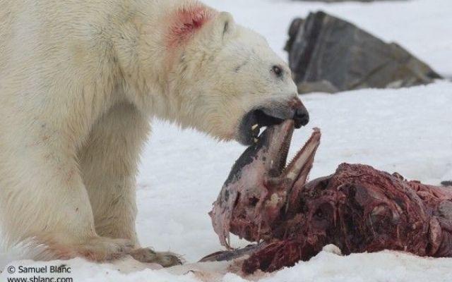 Gli orsi polari mangiano i delfini? Gli orsi polari si stanno adattando ad un nuovo habitat in rapida evoluzione. Per la prima volta è stato visto un orso polare cibarsi di un lagenorinco rostrobianco nelle Svalbard, un arcipelago norv #delfini #orsipolari #riscaldamento