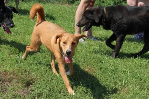 Meet ARROW - 2yrs - he is SO CUTE!, a Petfinder adoptable Labrador Retriever Dog | Whitby, ON | Please fill out an application form before calling or emailing questions....