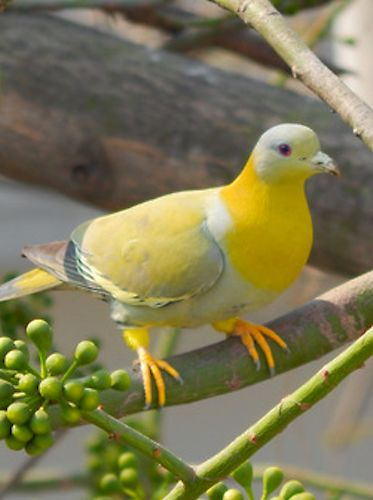 The Yellow-footed Green Pigeon (Treron phoenicoptera), also known as Yellow-legged Green Pigeon, is also known as the Yellow-thighed greenish Pigeon and the Yellow footed, thighed, rumped breasted tinted green with eyes that aren't yellow or green Pigeon of India.