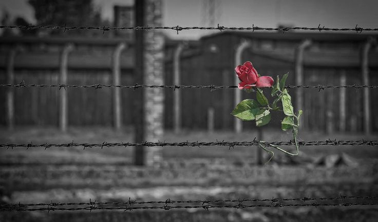 A rose left by a visitor on barbed wire at the Auschwitz II-Birkenau site.