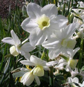 jonquilla-daffodils