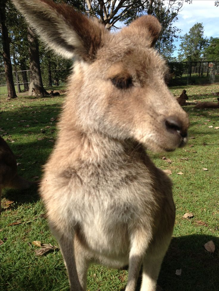 Kangaroos in Brisbane Australia so sweet