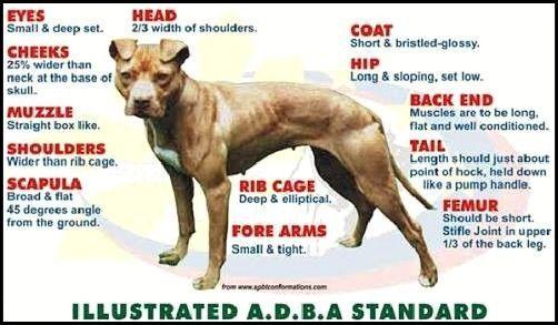 APBT , American Pit bull Terrier , Pitbull , bulldog , apbt