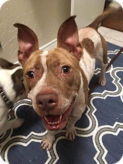 Dallas, TX - Pit Bull Terrier Mix. Meet Olive, a dog for adoption…