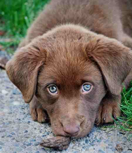 chocolate lab husky mix - photo #7