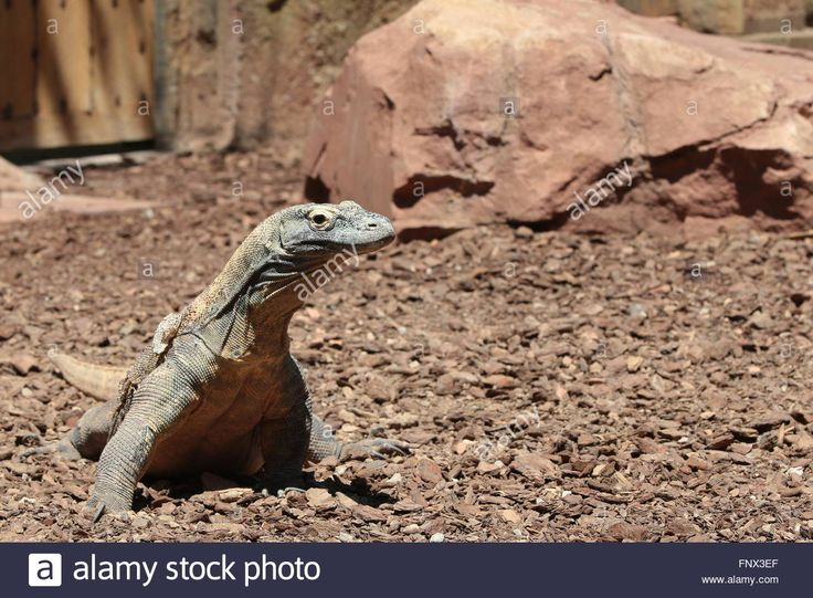 Download this stock image: Komodo Dragon (Varanus komodoensis), side view - FNX3EF from Alamy's library of millions of high resolution stock photos, illustrations and vectors.