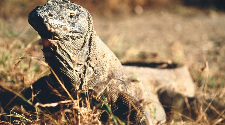 The Komodo Dragons are one of the highlights of this Indonesia adventure holiday. Komodo Sea Kayaking Adventure - Pioneer Expeditions. www.pioneerexpeditions.com #komododragon #wildlifeanimal