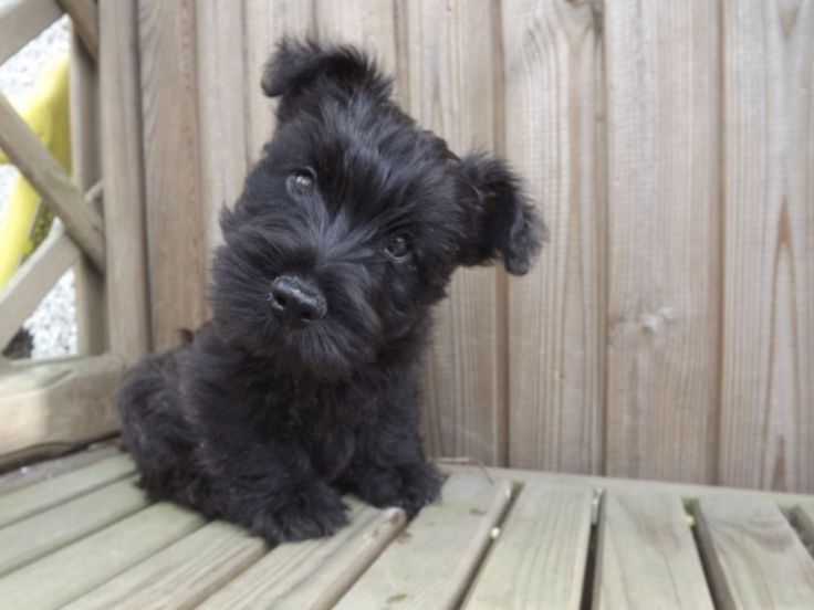 Black Brindle Scottish Terrier Bitch | Sheffield, South Yorkshire | Pets4Homes