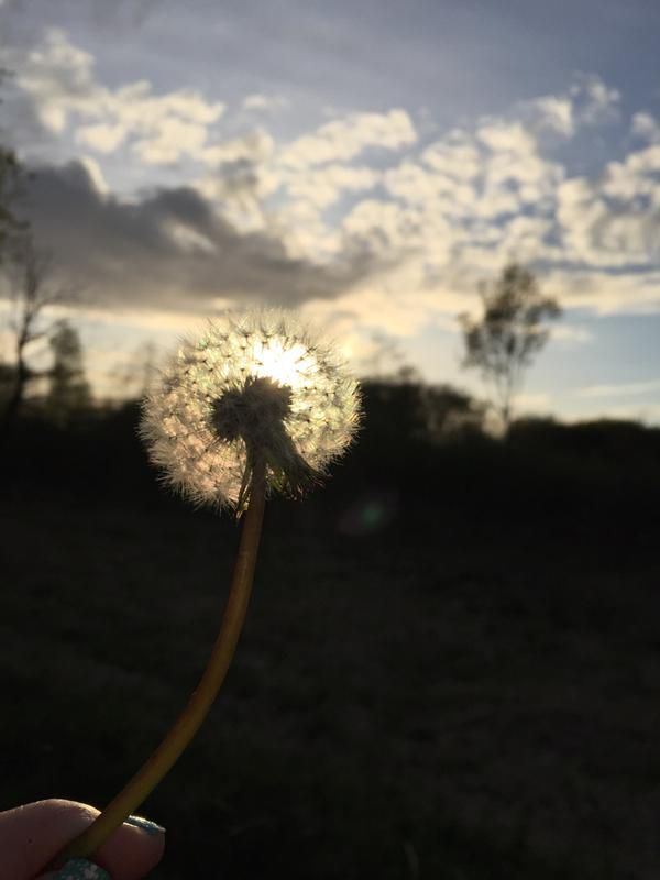 Dandelion by Racheal Evans. Submitted on Twitter as part of #SnapWarrington