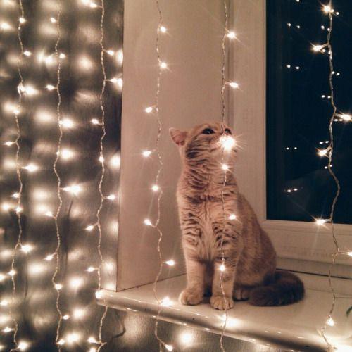 Kitty enjoying Christmas lights