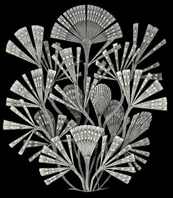 Ernst Haeckel. Ditaoms. In 1899 Haeckel published the 'Art Forms in Nature'. There were 100 plates in all, offered as a subscription of 10 plates for each mailing. They were available as a complete set in 1904.
