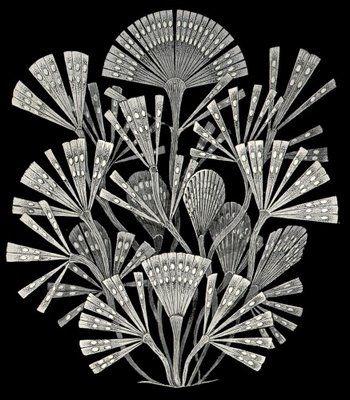 Diatoms. Ernst Haeckel..